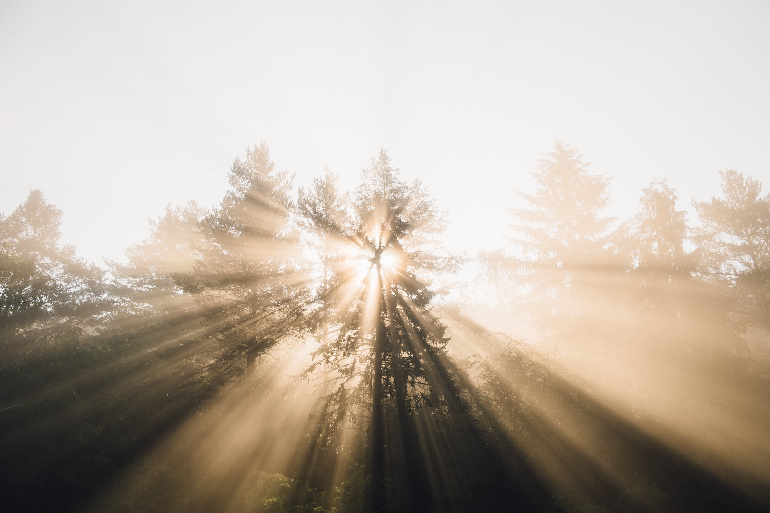 Sun light rays shining through trees in fog with dreamy atmosphere.