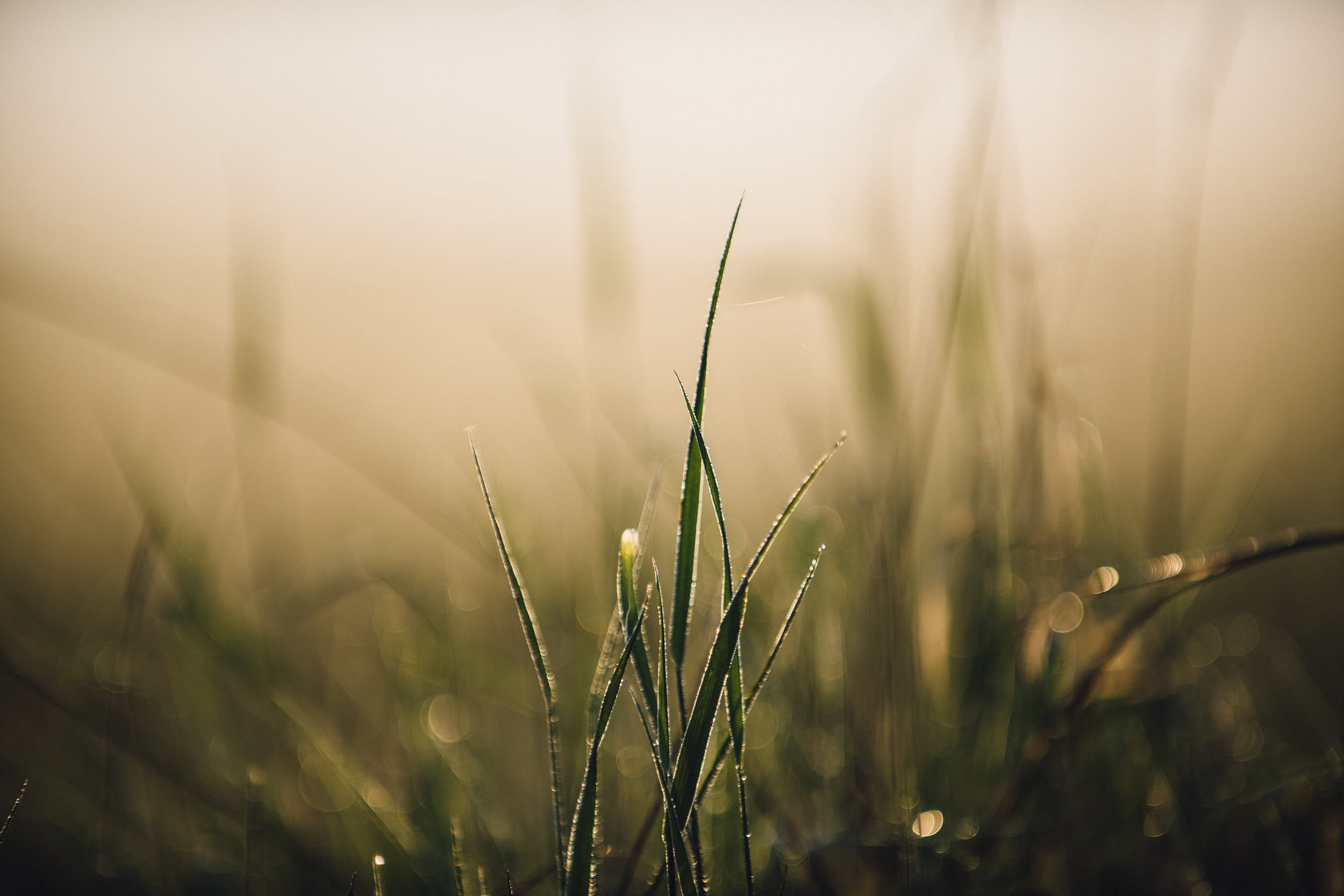 Minimal, almost macro photograph of backlit grass at dawn.