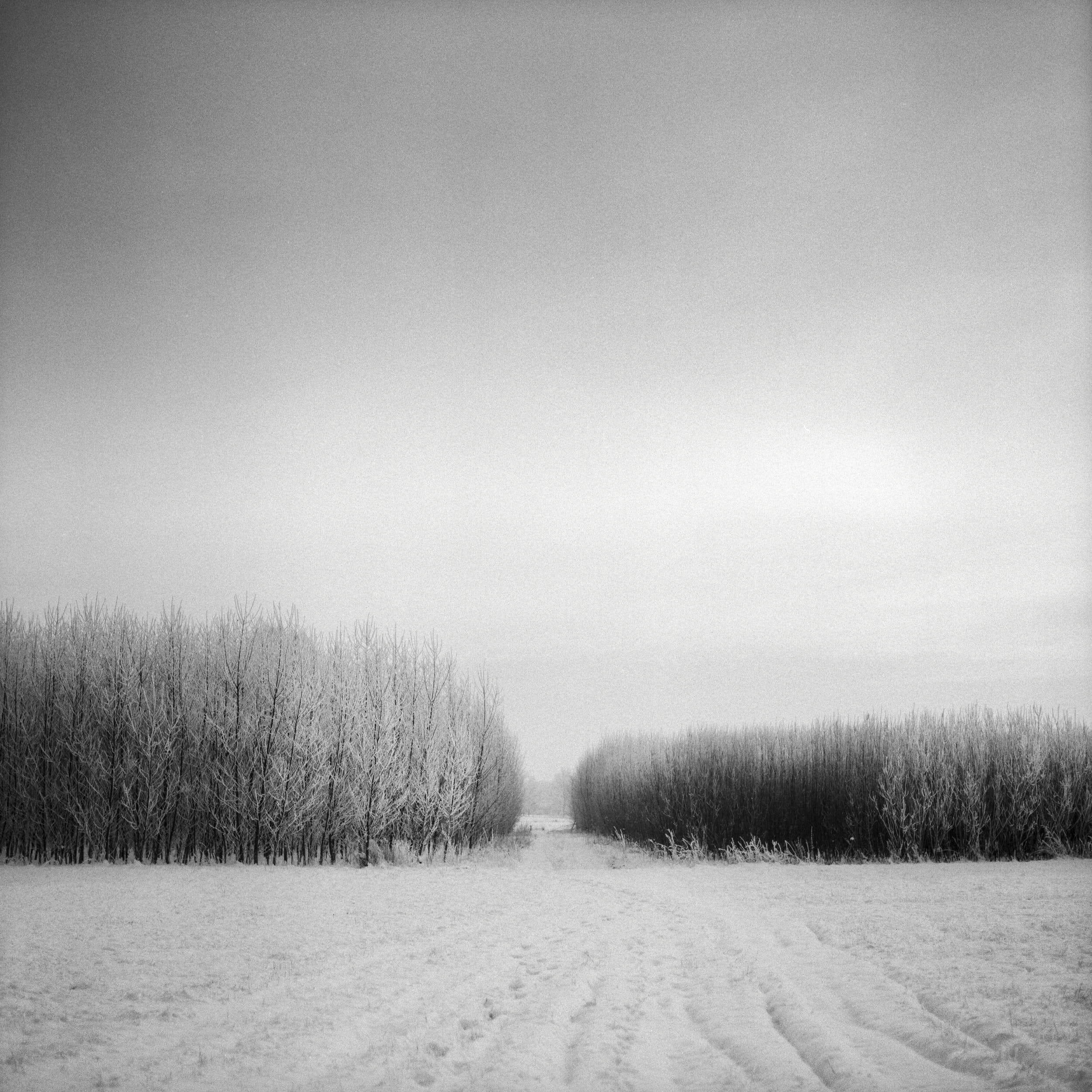 Black and white minimal winter scene with snowy trees shot on medium format film.