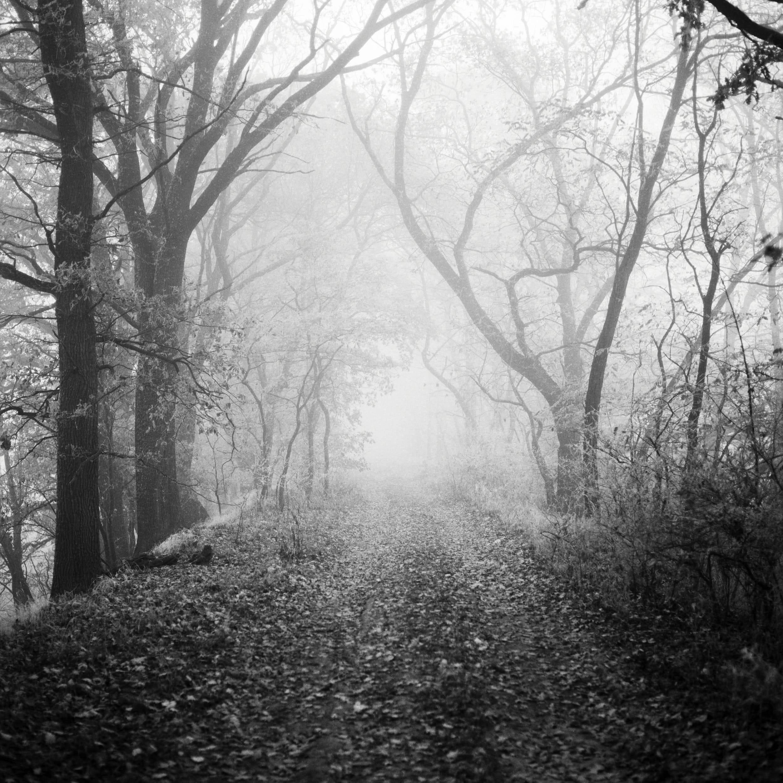 Fine art black and white photography: misty forest path with beautiful trees.
