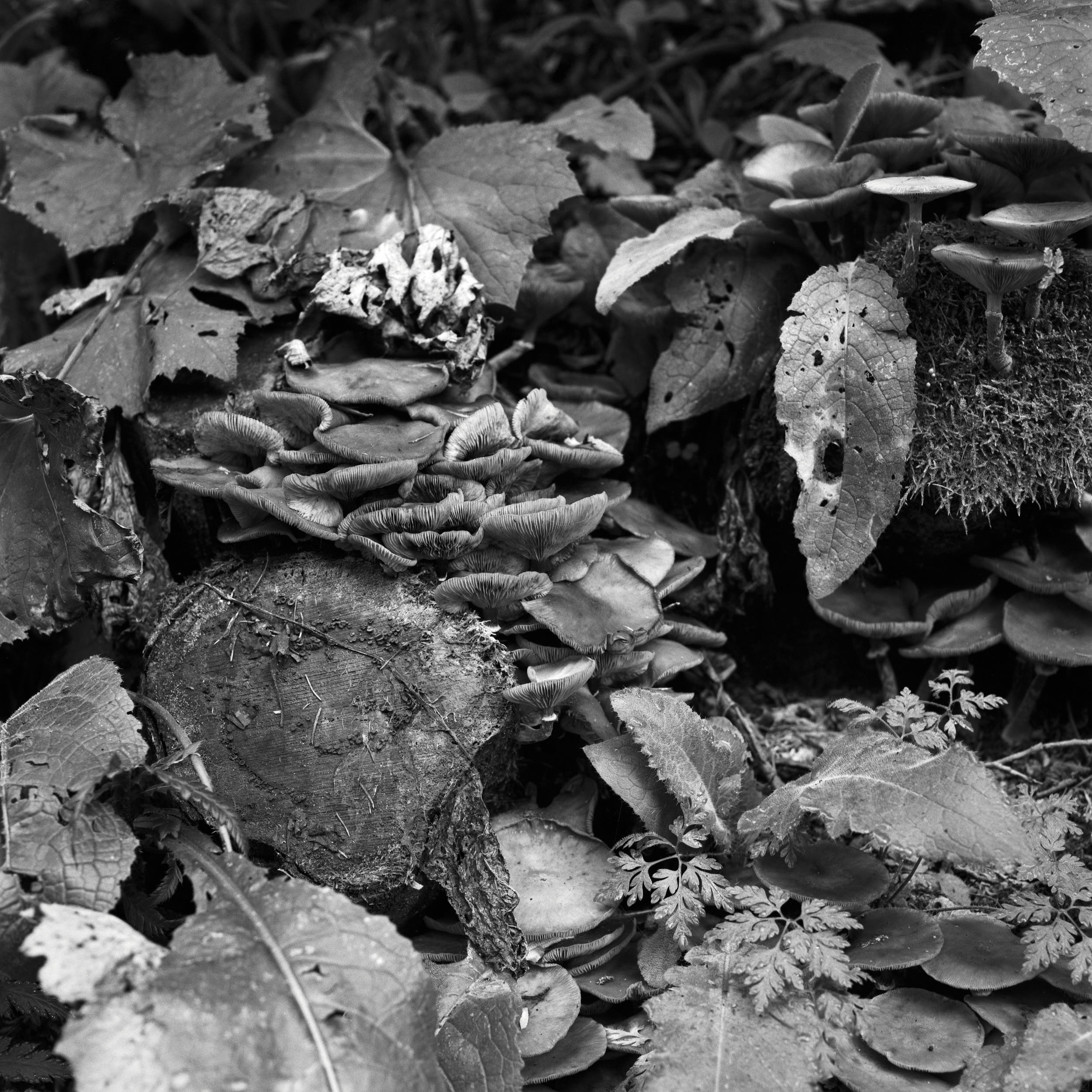 Black and white close up of leaves, mushrooms and logs.
