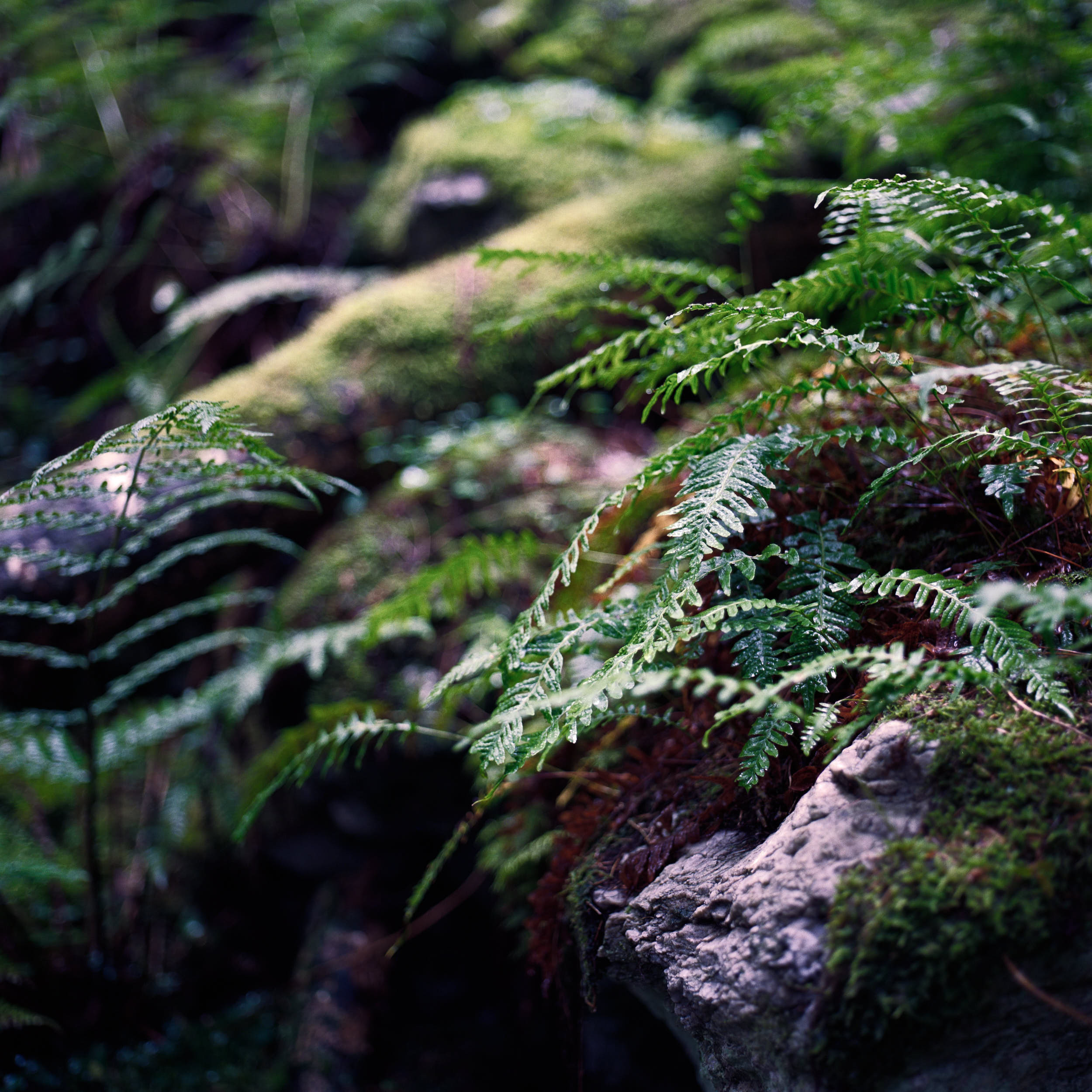 Moody landscape photography: lush green misty forest with large boulders covered with moss.