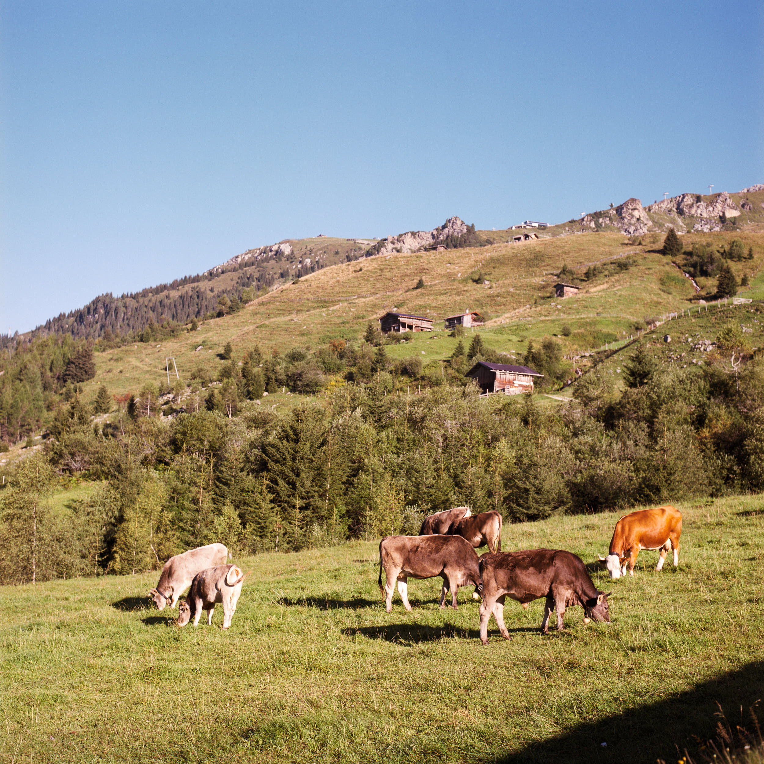 Medium format documentary photography: herd of cows on an alpine meadow.