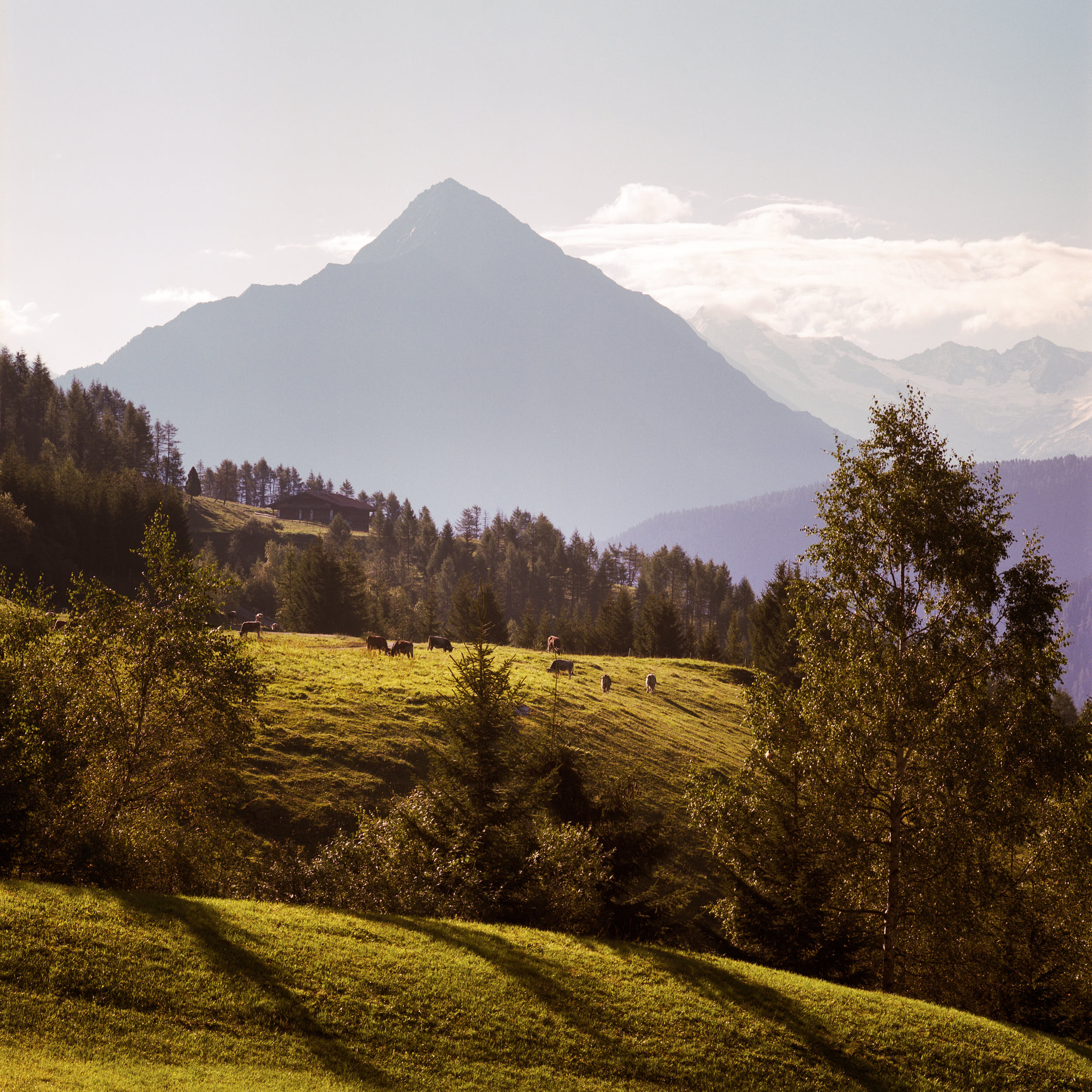 First sunlight hitting the top of alpine peaks with cows in the foreground. Shot on medium format color film.